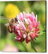 Honeybee And Clover Canvas Print