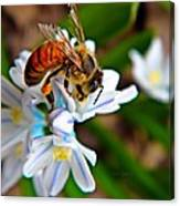 Honeybee And Squill Canvas Print