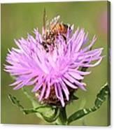 Honeybee At Work Canvas Print