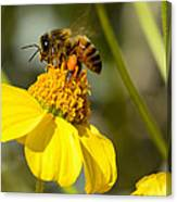 Honeybee Feasting On Nectar Of Yellow Flower Canvas Print