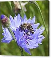 Honeybee In Bachelor's Button Canvas Print