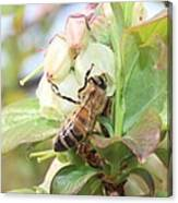 Honeybee In Blueberry Blossoms Canvas Print