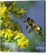 Honeybee In Flight Canvas Print