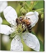 Honeybee On A Blackberry Blossom Canvas Print