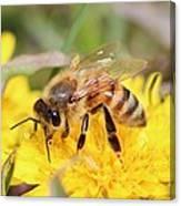 Honeybee On A Dandelion Canvas Print