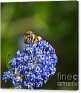 Honeybee On California Lilac Canvas Print