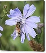 Honeybee On Chicory Canvas Print