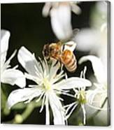 Honeybee On Clematis Canvas Print