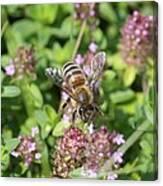 Honeybee On Heal All Canvas Print