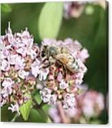 Honeybee On Oregano Canvas Print