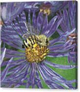 Honeybee On Purple Aster Canvas Print