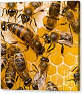 Honeybee Workers And Queen Canvas Print