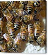 Honeybees Canvas Print