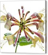 Honeysuckle Canvas Print