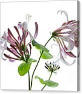 Honeysuckle Blossom Canvas Print