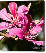 Hong Kong Orchid Tree Flower Blooms Canvas Print