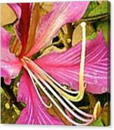 Hong Kong Orchid Tree Canvas Print