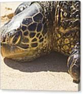 Honu - Hawaiian Sea Turtle Hookipa Beach Maui Hawaii Canvas Print