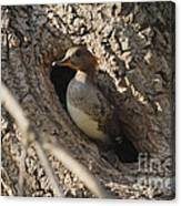 Hooded Merganser Getting Ready To Fly Canvas Print