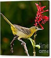 Hooded Oriole Female Canvas Print
