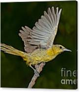 Hooded Oriole Hen At Take Canvas Print