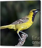 Hooded Oriole Juvenile Canvas Print