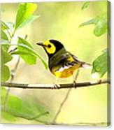 Hooded Warbler - Img_9274-009 Canvas Print