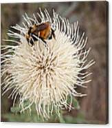 Hooker's Thistle With Bumblebee Canvas Print