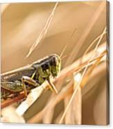 Hopper In Golden Grass Canvas Print