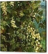 Hops 1882 Canvas Print
