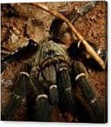 Hornback Baboon Spider Canvas Print