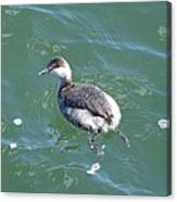 Horned Grebe Canvas Print