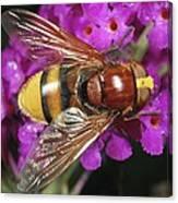 Hornet Mimic Hoverfly Canvas Print