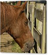 Horse 31 Canvas Print