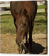 Horse 32 Canvas Print