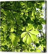 Horse Chestnut Leaves Canvas Print