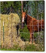 Horse Eating Hay In Eastern Texas Canvas Print