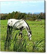 Horse Grazing In Field Canvas Print