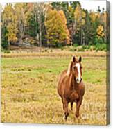 Horse In Field-fall Canvas Print