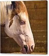 Horse Nap Canvas Print
