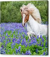 Horse Running By Lupines. Purebred Canvas Print