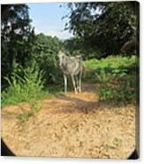 Horse Walks Toward Camera Canvas Print