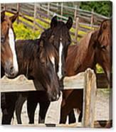 Horses Behind A Fence Canvas Print