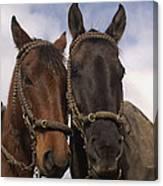 Horses  Belonging To Chagras Ecuador Canvas Print