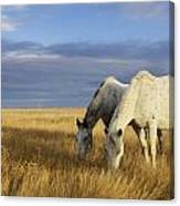 Horses Grazing In Cypress Hills Canvas Print