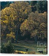 Horses In A Backlit Field With Fall Colored Trees Sedo Canvas Print