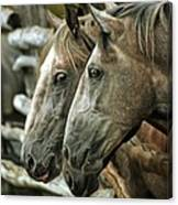 Horses Looking Through The Fence Canvas Print
