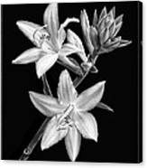 Hosta Flowers In Black And White Canvas Print