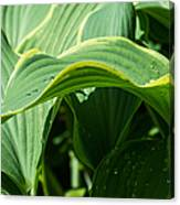 Hosta Leaves After The Rain Canvas Print