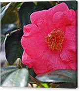 Hot Pink Camellia Canvas Print
